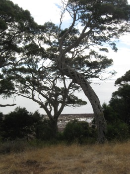 A moonah tree. The Bunurong saw them as as sacred