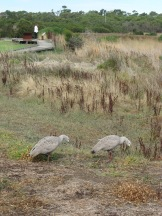 Some Cape Barren geese. You see them everywhere